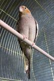 在笼子的灰色鹦鹉。 免版税图库摄影