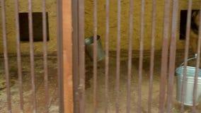 在笼子的狗在狗的避难所 股票视频
