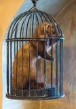 在笼子的狡猾的人 在囚禁的动物 免版税库存照片
