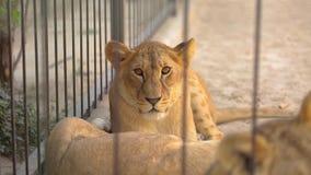 在笼子的狮子 雌狮在动物园鸟舍,休息在鸟舍的一个小组狮子休息 股票录像