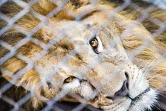 在笼子的狮子 图库摄影