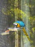 在笼子的猩红色金刚鹦鹉 免版税图库摄影