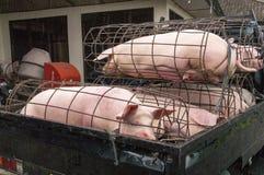 在笼子的猪 免版税库存图片