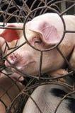 在笼子的猪 免版税库存照片