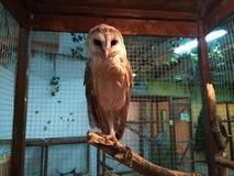 在笼子的猫头鹰 免版税库存图片