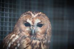 在笼子的猫头鹰 库存照片