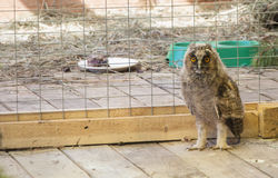 在笼子的猫头鹰 图库摄影