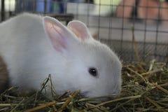 在笼子的白色兔子 免版税图库摄影