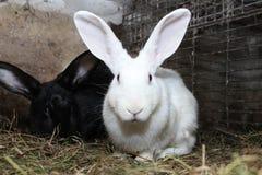 在笼子的白色兔子 图库摄影
