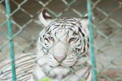 在笼子的白色孟加拉老虎 图库摄影