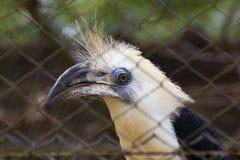 在笼子的白被加冠的犀鸟 库存图片