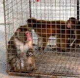 在笼子的短尾猿 免版税库存图片