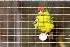 在笼子的红色鸟观察游人 库存照片