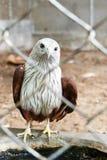 在笼子的红色鹰 库存照片