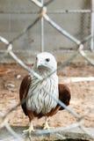 在笼子的红色鹰 免版税库存照片