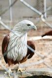 在笼子的红色鹰 免版税库存图片