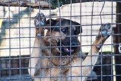 在笼子的纯血统护羊狗 库存照片