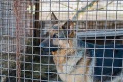 在笼子的纯血统护羊狗 免版税库存照片