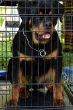 在笼子的纯血统Rottweiler狗 免版税库存图片