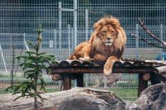 在笼子的美丽的狮子 免版税库存图片