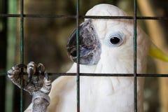 在笼子的美冠鹦鹉 菲律宾 免版税库存图片