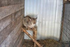 在笼子的美洲野猫 免版税库存照片