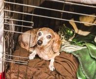 在笼子的老混杂的狗 免版税库存照片