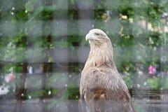 在笼子的老鹰在动物园 库存照片