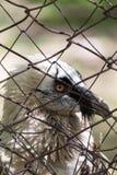 在笼子的老鹰 免版税库存图片