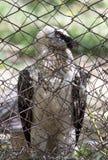 在笼子的老鹰 免版税图库摄影
