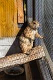 在笼子的草原土拨鼠在动物园里 图库摄影