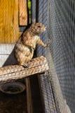 在笼子的草原土拨鼠在动物园里 免版税库存照片
