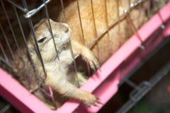 在笼子的草原土拨鼠 免版税库存照片