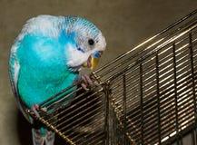 在笼子的蓝色budgie鸟 免版税图库摄影