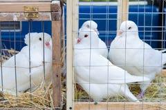 在笼子的装饰鸽子 库存照片
