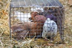 在笼子的装饰鸽子 免版税库存照片