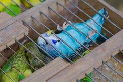 在笼子的装饰鸽子 库存图片