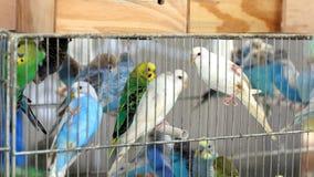 在笼子的许多五颜六色的budgies待售 库存图片