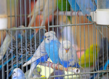 在笼子的许多budgies待售在宠物商店 库存照片