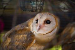 在笼子的谷仓猫头鹰 免版税库存照片
