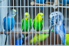 在笼子的逗人喜爱的五颜六色的budgies 免版税库存图片