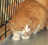 在笼子的野生害怕猫 免版税库存图片