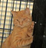 在笼子的野生害怕猫 免版税图库摄影