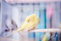 在笼子的金丝雀 免版税库存图片