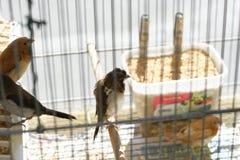在笼子的金丝雀 免版税图库摄影