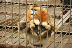 在笼子的金黄猴子 免版税库存照片