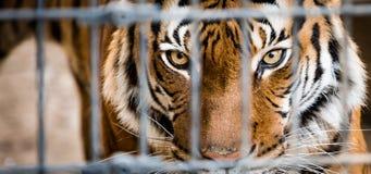 在笼子的马来亚老虎 免版税库存照片
