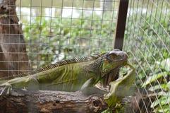 在笼子的鬣鳞蜥 库存照片