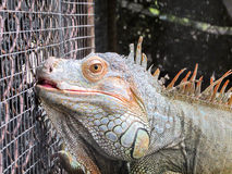 在笼子的鬣鳞蜥 免版税图库摄影