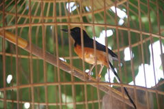 在笼子的鸟 图库摄影